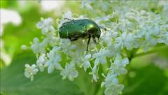 Green Rose Chafer (Cetonia Aurata) - stock footage