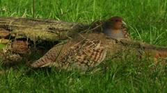 Common partridge (Perdix perdix) on a meadow Stock Footage
