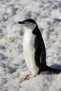 Chinstrap Penguin in Antarctica Stock Photos