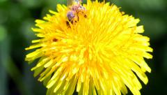 Worker bee collects nectar from yellow flowers. Stock Footage