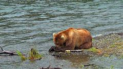 Brown Bear Lying on Gravel Bar Wipes Mosquitoes From Face & Looks Around Stock Footage