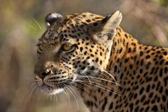 Leopard - Panthera pardus - Botswana Stock Photos