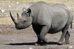 Black Rhinoceros - Namibia Stock Photos
