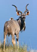 A mature male Kudu Stock Photos