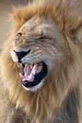 Male Lion - Botswana - Africa Stock Photos