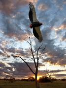 Bateleur Eagle - Savuti - Botswana Stock Photos