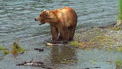Brown Bear at edge of gravel bar on a salmon river yawns Stock Footage