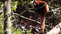 Red Panda sitting in a tree Stock Footage