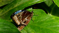 4K Blue Morpho Butterfly folding opening up its wings on leaf Stock Footage