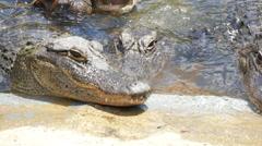 Feeding crocodiles Stock Footage