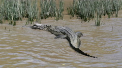 Сrocodile in the river Stock Footage