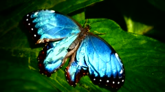 Morpho Butterfly Butterfly folding opening up its wings on leaf Stock Footage