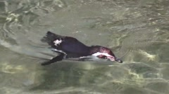 Penguin Swimming Stock Footage
