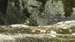Male Grey Wagtail standing on a rock looking around while wagging its tail Stock Footage
