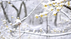 Snow falls on blossoming Cornelian cherry twig and dry flower Stock Footage