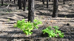 Friends in a strange land. Two small oak trees in pine forest Stock Footage