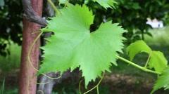 Vine leaves Stock Footage