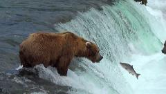 Brown Bear Catches Jumping Salmon in MidAir - Variable Slow Motion 50% Stock Footage