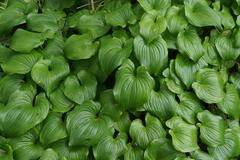 Thick groundcover of false lily of the valley Stock Photos