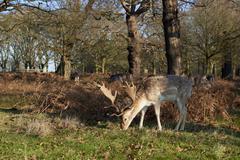 Fallow deer - stock photo