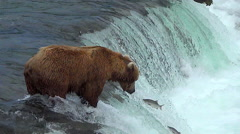 Brown Bear on Falls Catches Jumping Salmon in Mid Air Stock Footage