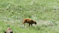 Bison, Buffalo, Calf, American West Stock Footage