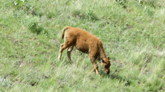 Bison, Buffalo, Calf, American West - stock footage