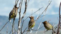 Cedar Waxwings, Birds Stock Footage