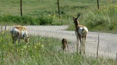 Pronghorn, Antelope, Family, American West, Cabri Stock Footage