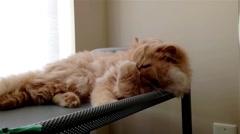Close up persian cat sleepy face Stock Footage