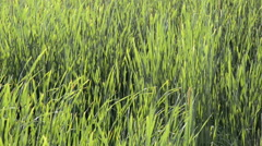 Green sedge, reed and grass swaying in the breeze on a sunny day. Stock Footage
