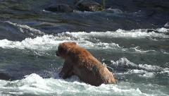 Brown Bear Wades & Dives to Catch a Salmon then Carries It Towards Shore Stock Footage
