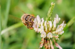 Honey bee on a white flower - stock photo