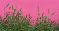 Wheat Green Leaves And Stalks Chroma Key Wavering Flowers And Milfoils, Brignt Stock Footage