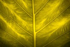 Close up natural backlight green leaf background texture Stock Photos