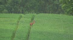 Stock Video Footage of roe deer - springtime
