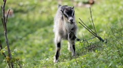 Goat grazing on the lawn Stock Footage