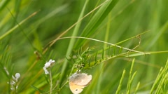 Coenonympha - Butterfly genus masking in grass and fly slow motion Stock Footage