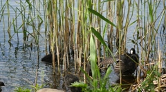 Nestling of black coot and mother in a pond - - Fulica Atra Stock Footage