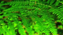 Green fern close up Stock Footage
