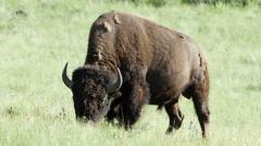 Bison, Buffalo, Graze, Grazing, American West - stock footage