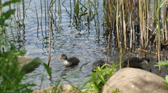 Active young progeny of black coot in a pond - - Fulica Atra Stock Footage
