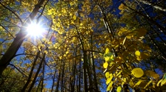 View of Aspen leaves in Fall with Sun Flares Stock Footage