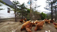 Feeding Chickens for Egg Production on a country farm Stock Footage