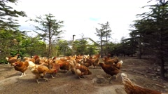 Chickens eating corn Stock Footage