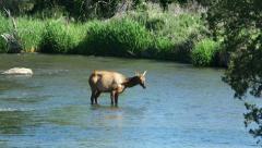 Elk, River, Eat, Feed - stock footage