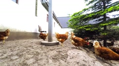 Brown hens  Stock Footage