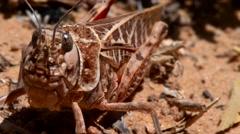 Locust cicada grasshopper close-up macro Stock Footage