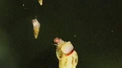Freshwater Snails Melanoides Tuberculata Stock Footage