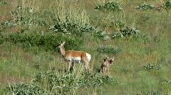 Pronghorn, Doe and Fawns, Antelope, American West, Cabri Stock Footage